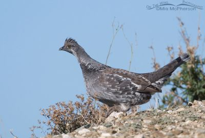 Dusky Grouse male up Bountiful Canyon