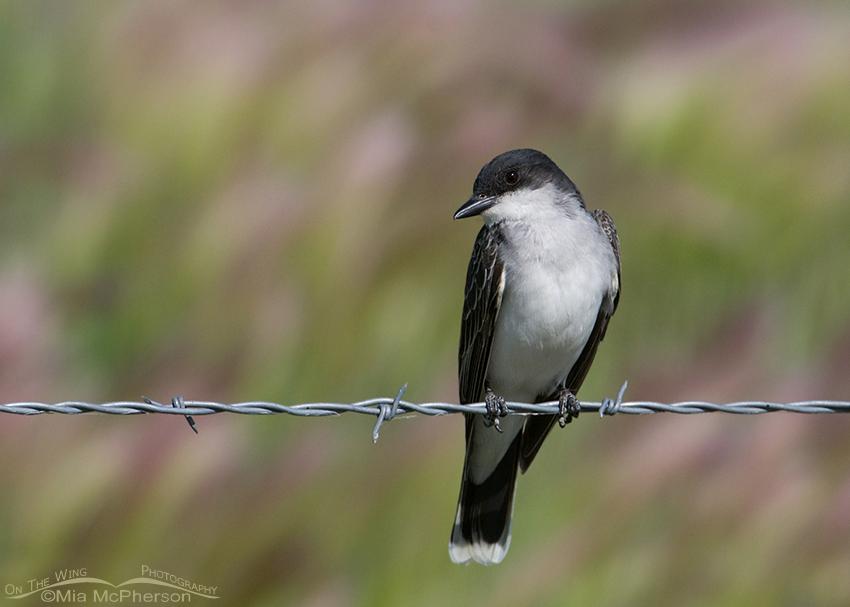 Eastern Kingbird with tilted head
