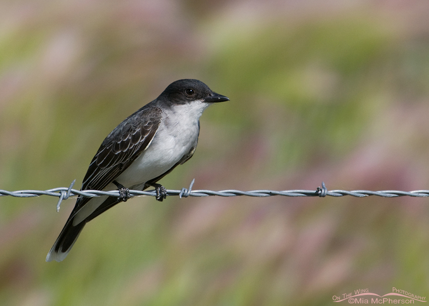 Eastern Kingbird with Foxtail Barley in the background