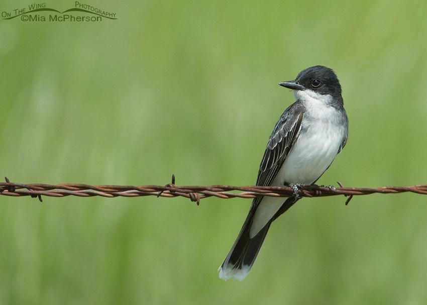 Eastern Kingbird, Glacier County, Montana