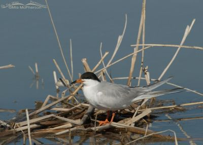 Forster's Tern in breeding plumage on nest