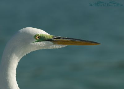 Breeding plumage lores in a Great Egret