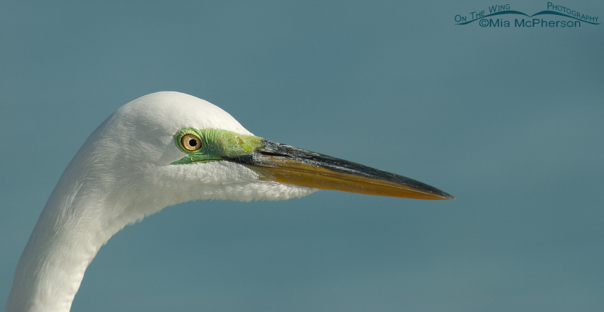 Great Egret headshot in breeding plumage