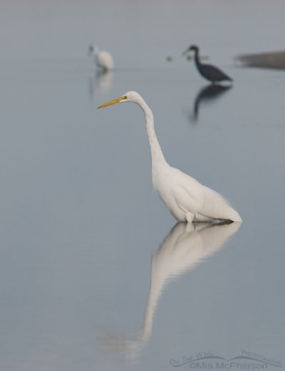 Great Egret and friends