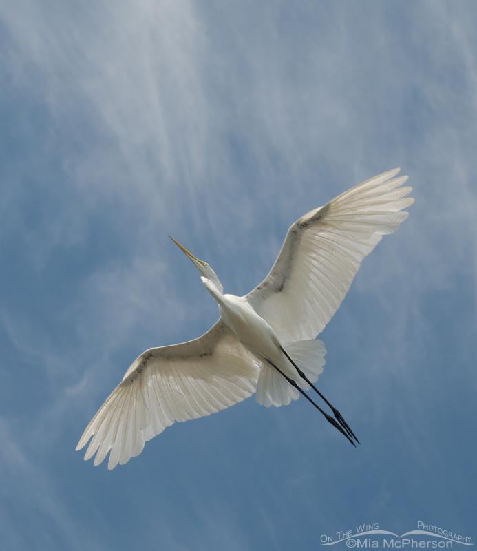 Great Egret overhead - White on light