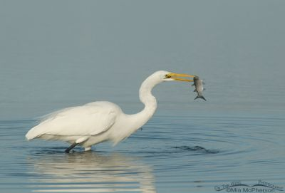 Great Egret with a Mullet in a lagoon