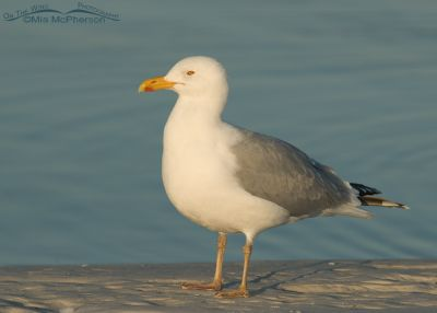 Adult Herring Gull in breeding plumage