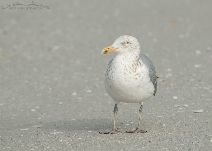 Herring Gull in a fog
