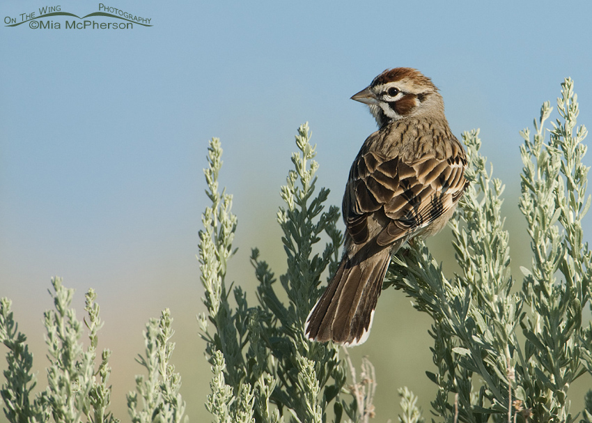 Back view of a Lark Sparrow