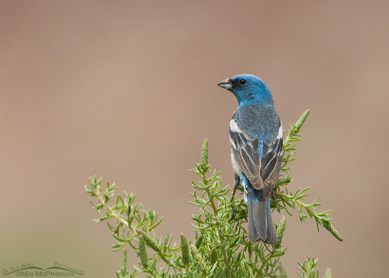 Male Lazuli Bunting with Navajo Sandstone in the background