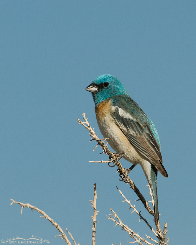 Lazuli Bunting male with a sky background