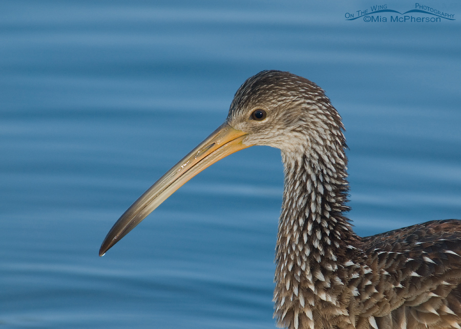 Limpkin portrait in early morning light