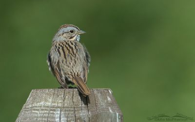 Lincoln's Sparrow perched on a fencepost