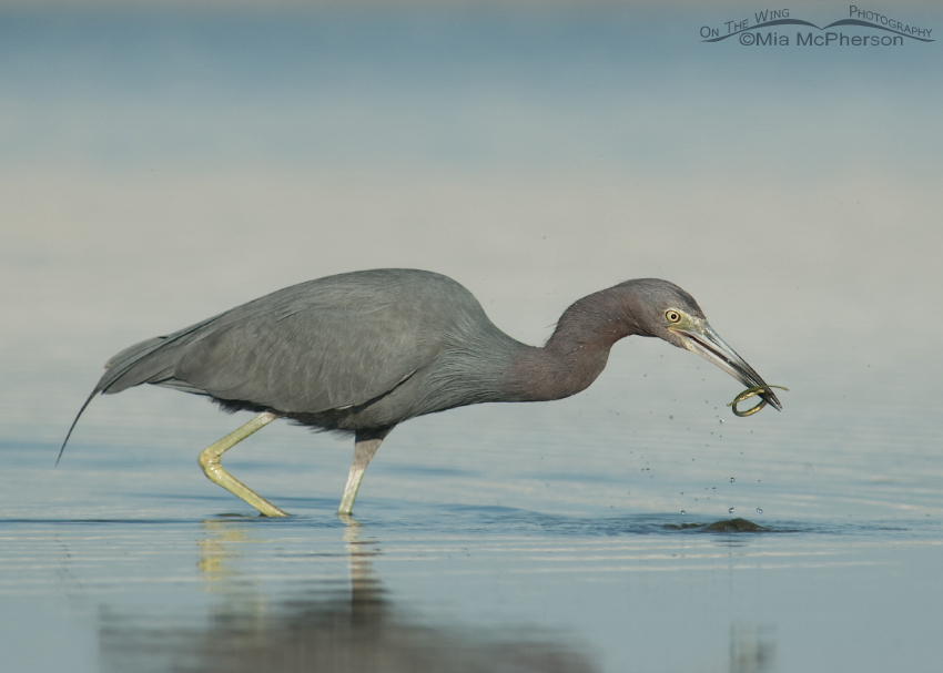 Little Blue Heron right after capturing a Pipefish