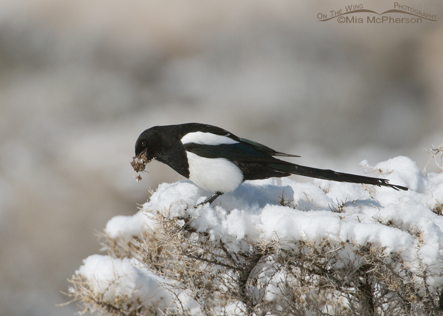 Black-billed Magpie nesting building in the snow