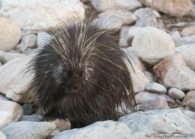 The Quill Pig ~ North American Porcupine