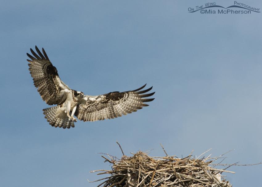 Female Osprey Landing on nest