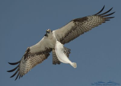 Osprey with flounder over the Gulf