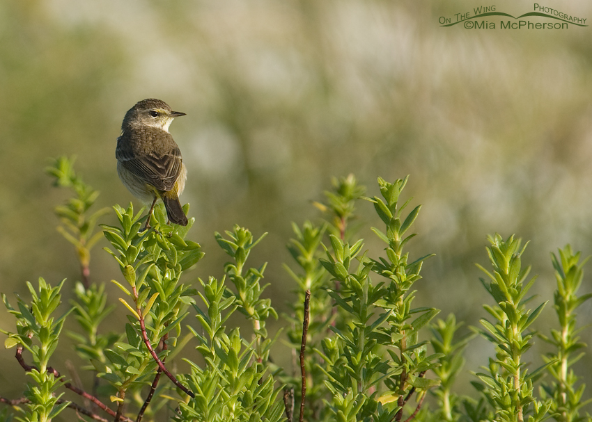 Palm Warbler perched on Sea Purslane