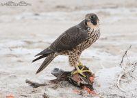 Peregrine Falcon on top of prey