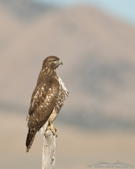 Red Tailed Hawk Perched Red-tailed Hawks – M...