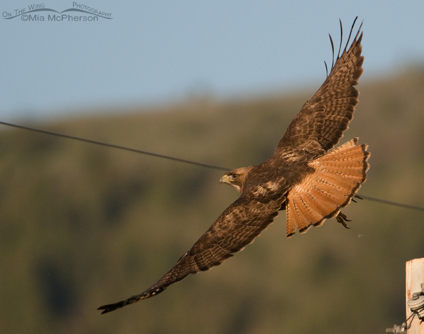 Red-tailed Hawk in flight with wire