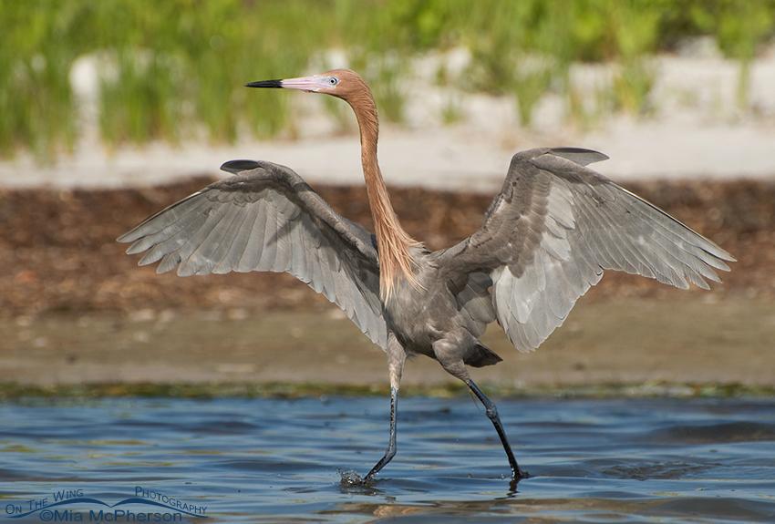 Dancing dark morph Reddish Egret