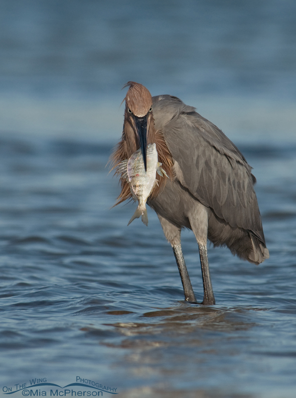 Reddish Egret lunch time