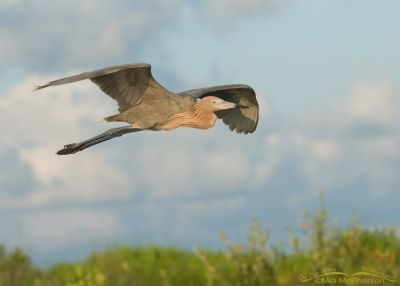 Reddish Egret in flight with clouds in the background