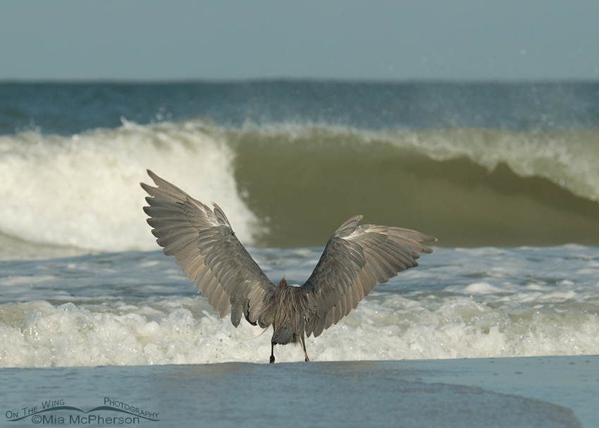 Reddish Egret in front of the waves!