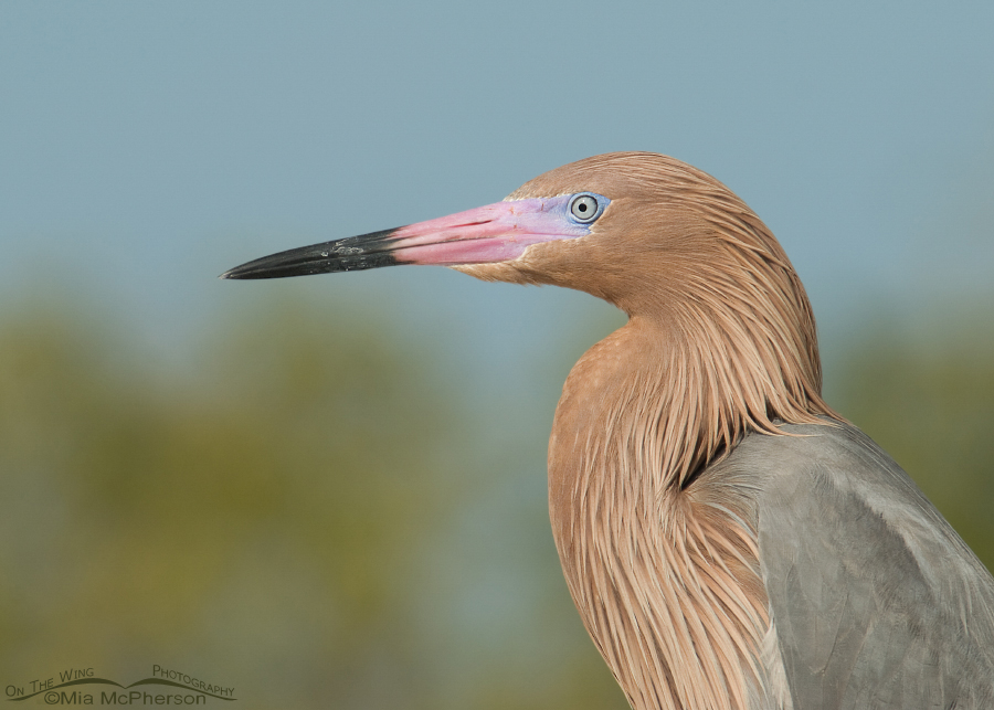Reddish Egret portrait at Fort De Soto's north beach