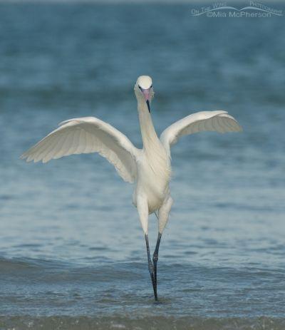 White Morph of Reddish Egret – a Ballet Pose