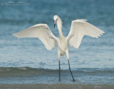 The Dancer - White Morph of Reddish Egret