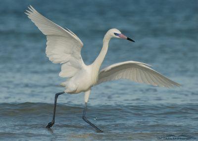 Dancing white morph Reddish Egret