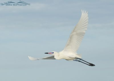 White morph Reddish Egret in flight