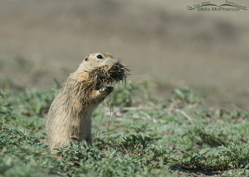 Richardson's Ground Squirrel with a mouthful