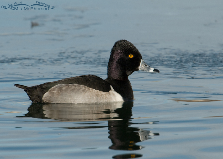 Ring-necked Duck Images