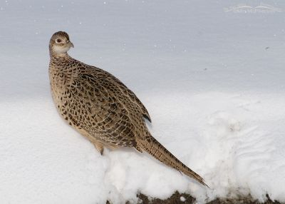 Ring-necked Pheasant Hen on a snow bank