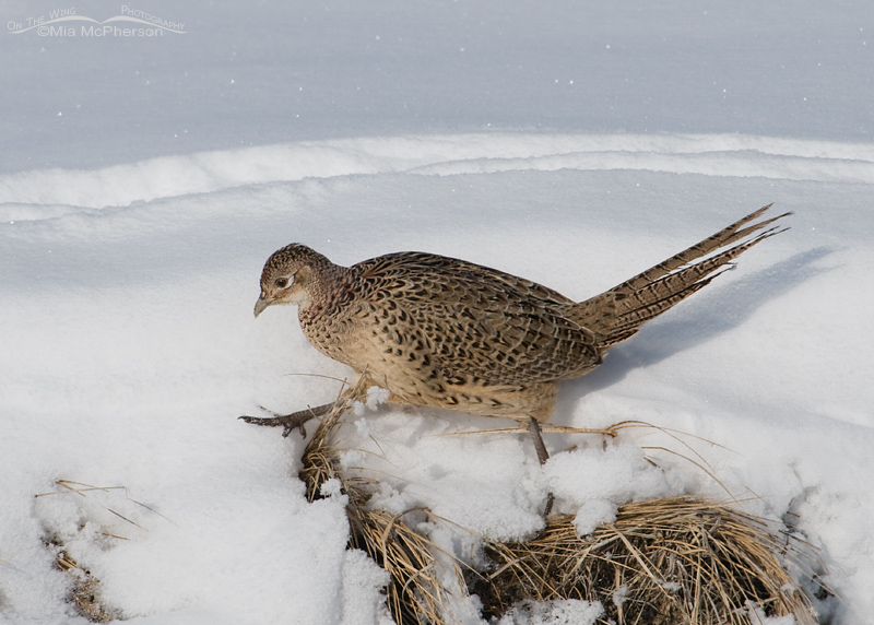 Hen Ring-necked Pheasant walking in snow