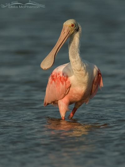 Roseate Spoonbill in evening light