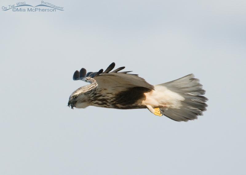 A Rough-legged Hawk swallowing a vole in flight