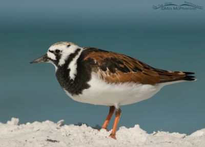 Ruddy Turnstone close up