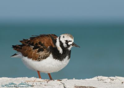 Ruddy Turnstone in breeding plumage
