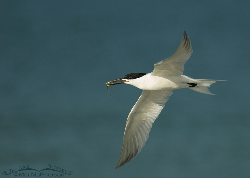 Sandwich Tern in flight with prey