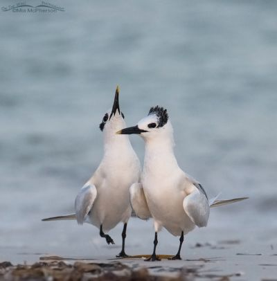 Displaying Sandwich Terns in low light