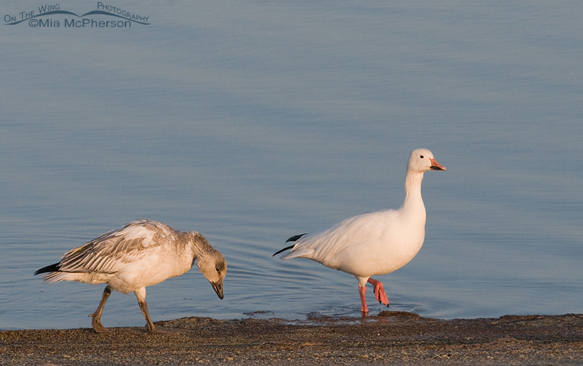 Snow Goose adult (r) and juvenile (l)