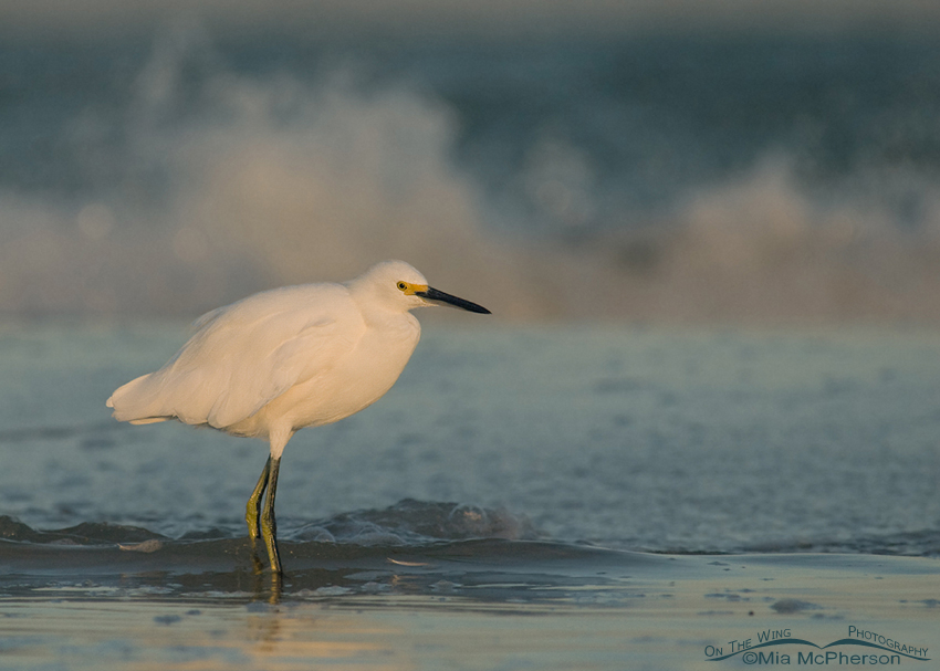 Snowy Egret - Moody Blues