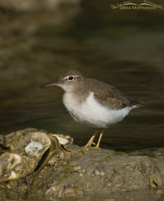 Spotted Sandpiper in dappled light