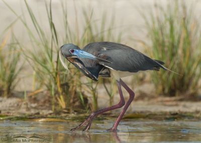 Tricolored Heron trying to sneak by