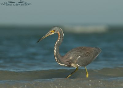 Tricolored Heron side view